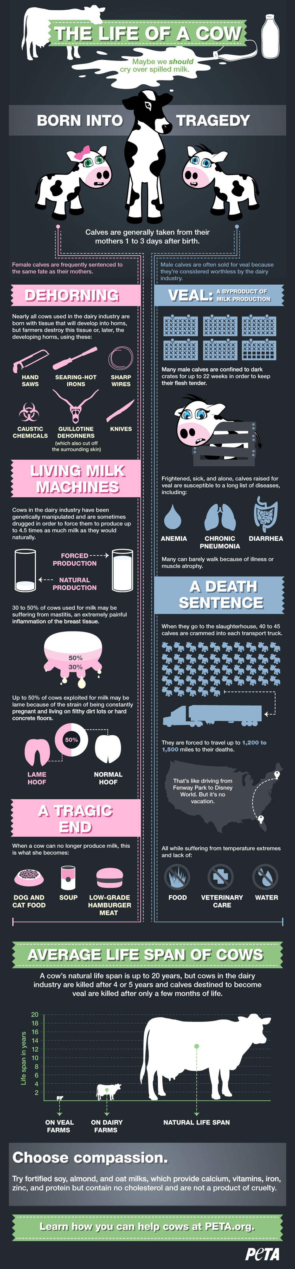 The Life of A Cow - Animals Infographic