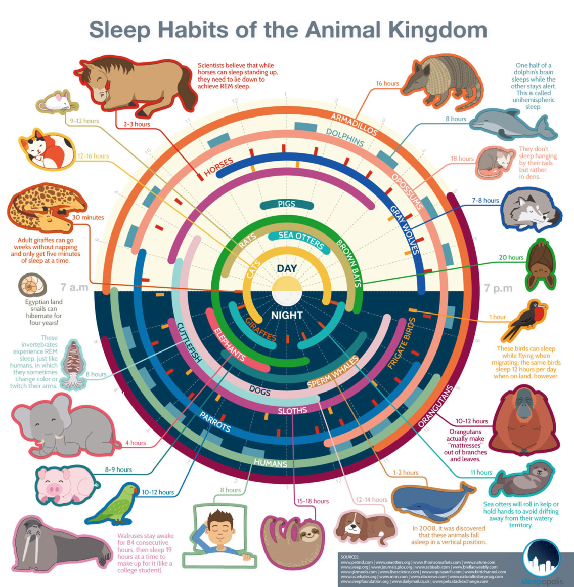 Sleeping Habits of Different Animals Infographic