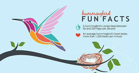 fun facts  hummingbirds infographic